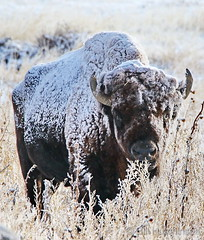 November 11, 2019 - A snow-covered bison. (Bill Hutchinson)