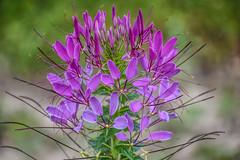 DSC_1044R (EKJPhotos) Tags: flower violet purple summer closeup softcolor nature cleome hassleriana queen spider