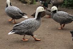 Emperor geese, WWT Slimbridge, UK (inyathi) Tags: uk england gloucestershire wwt slimbridge wildfowlandwetlandstrust waterfowl wildfowl birds geese emperorgeese ansercanagicus