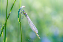 fresh damselfly (rian.krenzer) Tags: animal bokeh closeup colorful damselfly detailed dragonfly green insect macro meadow small summer sunny wings