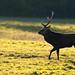 Sika Deer Silhouette