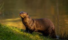 Giant Otter in Golden Light-1 (tiger3663) Tags: giant otter golden light yorkshire wildlife park