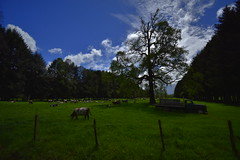 Farmer life - South of Chile (cjarahertel) Tags: nikon nikonphoyography nikonchile nikoneurope nikonfrance nikonusa nikonviña white watcher wildlife farmer