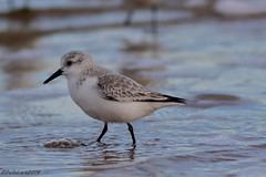 Sanderling (Georgiegirl2015) Tags: sanderling waders dellalackwildlifephotography wildlife wales canon coastal bbcwalesnature birds beach nature newtonpoint porthcawl midglamorgan sand water sea autumn2019 eveningsun c avian ornithology breakingwaves artic shoreline