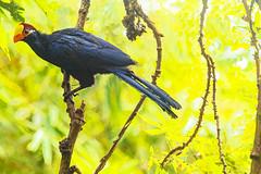 TURACO VIOLETTO    ----    VIOLET TURACO (Ezio Donati is ) Tags: uccelli birds animali animals natura nature alberi trees colori color westafrica costadavorio areaassinie lagunesilesethoilr nikond800 70200 tim