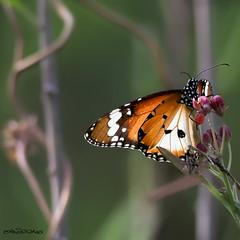 Butterfly (melvhsc100) Tags: nature wildlife butterflypark garden greenery lightandcolors bokeh