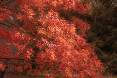 Acer in the sunlight. (tramsteer) Tags: tramsteer acer leaves trees sunlight westonbirtarboretum gloucestershire cotswolds england