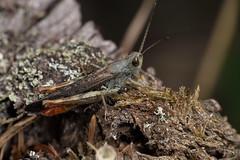Hey, Good Lookin' - _TNY_5436 (Calle Söderberg) Tags: macro canon canon5dmkii canoneos5dmarkii canon5dmarkii 5d2 canonef100mmf28usmmacro raynox dcr250 flash meike mk300 glassdiffusor insect grasshopper gräshoppa chorthippus brunneus backgräshoppa commonfieldgrasshopper orthoptera caelifera acrididae rätvinge markgräshoppa fältgräshoppa redabdomen braunegrashüpfer braunergrashüpfer grashüpfer f22