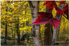 OCTOBER 2019 _1140_NGM_4140-2-222 (Nick and Karen Munroe) Tags: trees tree heartlakeconservationarea heartlakeconservation heartlakepark heartlake conservationarea conservation gold orange yellow cool flora november outside landscape landscapes fall autumn fallsplendor fallcolours karenick23 karenick karenandnickmunroe karenandnick munroe karenmunroe karen nickandkaren nickandkarenmunroe nick nickmunroe munroenick munroedesigns photography munroephotoghrpahy munroedesignsphotography nature brampton bramptonontario ontario ontariocanada outdoors canada d750 nikond750 nikon nikon2470f28 2470 2470f28 nikon2470 nikonf28 f28 colour colours color colors forest woods hike trail hiking forests wood natural