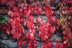 Autumn In Red (David J. Julián) Tags: autumn otoño nikon naturaleza nature red davidjjulian rural patones fall