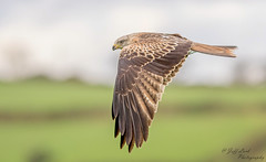 DSC9589  Red Kite... (Jeff Lack Wildlife&Nature) Tags: raptors birdsofprey hawk hawks avian animal animals birds bird birdphotography wildlife wildbirds woodlands woodland wildlifephotography jefflackphotography farmland forest fields forests forestry highlands hillside hills countryside coastline cliffs heathland hedgerows heathlands heaths moorland marshland meadows moors marshes nature naturephotography nikon ornithology redkite kite kites