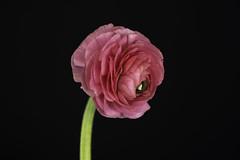 X-T2Bloemen-DSCF2314 (jac135) Tags: flowers macro subjects bloemen 80mm ranonkel xt2