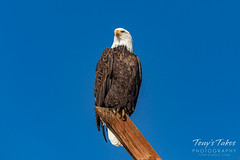 November 9, 2019 - A posing bald eagle. (Tony's Takes)