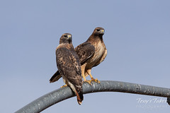 November 9, 2019 - A pair of red tailed hawks hang out in Thornton. (Tony's Takes)