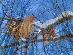 Leftover From Fall (kfocean01) Tags: snow winter nature blue trees leaves foliage oak photoshop photomanipulation artsy impression abstract creativephotography painterly art
