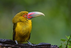 Araçari-banana / Saffron Toucanet (anacm.silva) Tags: araçaribanana saffrontoucanet toucanet ave bird wild wildlife nature natureza naturaleza birds aves mataatlântica avesdamataatlântica trilhadostucanos tapiraí brasil brazil specanimal coth5 ngc npc pteroglossusbailloni