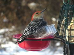 Male Red-bellied Woodpecker At The Bird Feeder Station IMG_4672 (Ted_Roger_Karson) Tags: redbelliedwoodpecker maledownywoodpecker northernillinois handheldcamera canonpowershotsx280hs tags bird feeder northern illinois hand held camera suet canon powershot sx280 hs miniature compact pocket back yard snow friends birds full zoom telephotos seed cake animals telephoto thisisexcellent twop test photo minicompact food redbellied woodpecker h