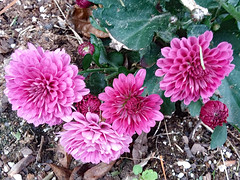 Cluster of Purple Mums. (dccradio) Tags: lumberton nc northcarolina robesoncounty outdoor outdoors outside flower flowers floral bloom blooms blooming blossom blossoms blossoming plant leaf leaves foliage mum mums tuesday morning tuesdaymorning goodmorning november autumn fall samsung galaxy smj727v j7v cellphone cellphonepicture