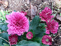 Purple Mums. (dccradio) Tags: lumberton nc northcarolina robesoncounty outdoor outdoors outside flower flowers floral bloom blooms blooming blossom blossoms blossoming plant leaf leaves foliage mum mums tuesday morning tuesdaymorning goodmorning november autumn fall samsung galaxy smj727v j7v cellphone cellphonepicture