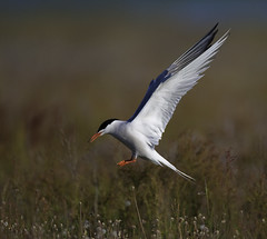Landfall (Pawel Wietecha) Tags: landfall bird animal wild wildlife coth5 national outside outdoor color colors vivid landscape commontern meadow wings white black red flowers summer birdsofeurope