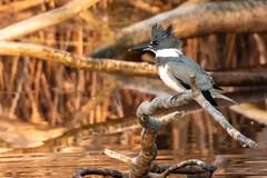 Belted Kingfisher (mattbpics) Tags: beltedkingfisher bird nature wildlife canon 70d tamron 150600 150600mm tamronsp150600mmf563divcusda011 nwr stewartbmckinney stratford ct connecticut