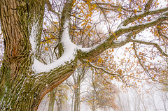 Snow Branch (Neil Cornwall) Tags: 2019 canada forestglade november ontario windsor fall leaves snow trees