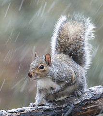 First snow of the season. (Diane G. Zooms---Mostly Off) Tags: wintersquirrel squirrel wildlife nature squirrelphotos dianegiurcophotography alittlebeauty coth coth5 naturethroughthelens