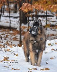 A Moment with Major (GLASman1) Tags: major snow nikon d750 belgiantervuren dog