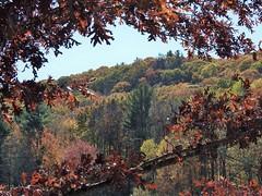 Framed by Autumn... (Jane Lazarz Nature Photography) Tags: walkingnewengland janelazarz massachusetts nikonp900 nikon massachusettsautumn autumn newenglandcountryside westernmassachusetts nikonnature autumninnewengland trees redoak leaves maples fallinnewengland
