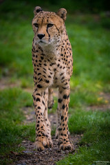 Walking cheetah (Toruko Photography) Tags: a7rii animals beautiful big black brown cat cheetah close color dirt ears eyes face grass green leaves male nature nose orange paws portrait sony walking white wild