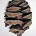 Metasequoia glyptostroboides (dawn redwood cone) 2