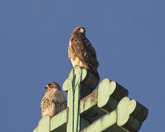 Christo and Amelia take in the last of the sun (Goggla) Tags: christo amelia nyc new york manhattan east village tompkins square park urban wildlife bird raptor red tailhawk adult