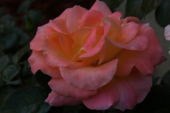 warm feeling (ranchodon) Tags: rose colorful canon garden flower nature