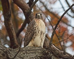 Christo in the fall foliage (Goggla) Tags: christo nyc new york manhattan east village tompkins square park urban wildlife bird raptor red tail hawk adult male fall foliage orange