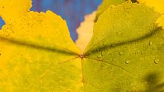 Dew on vine leaf (Milen Mladenov) Tags: 2019 nopeople countryside day dew leaf morningdew natural nature nonurbanscene vineleaf vineyardleaf