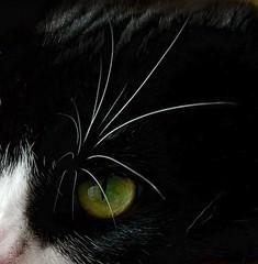 Green Eyed Cat (Sandra Mahle) Tags: cat feline animal macro kitty canon canonphotography meow