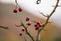 A berry good morning (tonguedevil) Tags: outdoor outside countryside autumn nature tree berries hawthorn red raindrops rain hillside colour light shadows morning