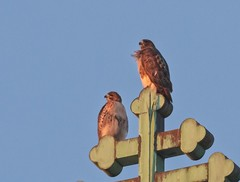 Christo and Amelia at sunset (Goggla) Tags: christo amelia nyc new york manhattan east village tompkins square park urban wildlife bird raptor red tailhawk adult sunset
