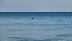 Bad day for a swim (lauriemorrison88) Tags: dolphin wingan