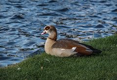 Egyptian Goose (The Wandering Cameraman) Tags: nikon nikonphotography nikkor birding bird goose egyptiangoose d750 sharpness focuse water grass birder wildlife wild alopochenaegyptiaca