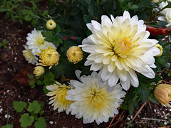 White Mums. (dccradio) Tags: lumberton nc northcarolina robesoncounty outdoor outdoors outside flower flowers floral bloom blooms blooming blossom blossoms blossoming plant leaf leaves foliage mum mums tuesday morning tuesdaymorning goodmorning november autumn fall samsung galaxy smj727v j7v cellphone cellphonepicture