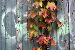 Decorated- Garage Series (Doris Burfind) Tags: garages alley laneway toronto urban urbex city vines autumn fall colour peelingpaint decay weathering annex