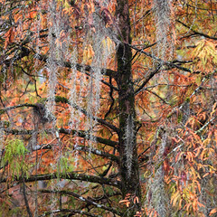 The Spanish Moss (Andrew G Robertson) Tags: louiisana bayou swamp autumn spanish fall moss lafayette lakew martin