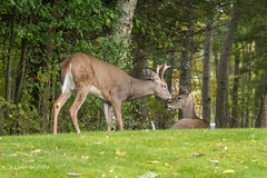 White-tailed deer - A touching moment 502_1608.jpg (Mobile Lynn) Tags: nature landmammals deer whitetaileddeer fauna mammal mammals odocoileusvirginianus wildlife barharbor maine unitedstatesofamerica