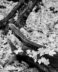 Fallen Bigleaf Maple Leaves, Mariposa County, CA (4 Corners Photo) Tags: 4cornersphoto acermacrophyllum autumn bigleafmaple blackandwhite california deciduous fall foliage forest landscape leaves mariposacounty monochrome mountains nature northamerica outdoor root rural scenery sierranevada tree unitedstates yosemite yosemitenationalpark yosemitevalley unitedstatesofamerica