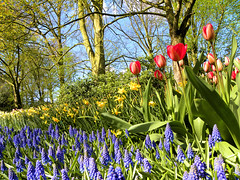 DSCN0607 (alainazer) Tags: keukenhof lisse nederland paysbas holland hollande fiori fleurs flowers