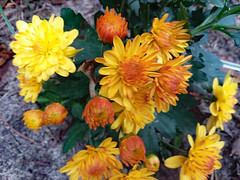 Yellow Mums. (dccradio) Tags: lumberton nc northcarolina robesoncounty outdoor outdoors outside flower flowers floral bloom blooms blooming blossom blossoms blossoming plant leaf leaves foliage mum mums tuesday morning tuesdaymorning goodmorning november autumn fall samsung galaxy smj727v j7v cellphone cellphonepicture