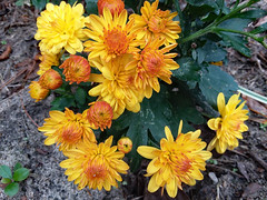 Mums. (dccradio) Tags: lumberton nc northcarolina robesoncounty outdoor outdoors outside flower flowers floral bloom blooms blooming blossom blossoms blossoming plant leaf leaves foliage mum mums tuesday morning tuesdaymorning goodmorning november autumn fall samsung galaxy smj727v j7v cellphone cellphonepicture