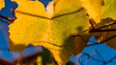 Morning dew on vine leaf (Milen Mladenov) Tags: 2019 nopeople varbovchets countryside day natural nature nonurbanscene