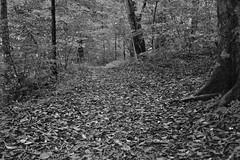When I Look at the Trees, I See Intricate Patterns and Colors of Wildness (Black & White, Mammoth Cave National Park) (thor_mark ) Tags: appalachianmountains appalachianplateaus azimuth89 blackwhite camranger capturenx2edited centralcumberlandplateau colorefexpro colorofleaves colors cumberlandplateau day4 fallenleaves greenriverbluffstrail hikingtrail internationalbiospherereserve landscape leaves lookingeast mammothcavenationalpark nature naturetrail nikond800e outside portfolio project365 talltrees talltreesallaround trail travel triptogatewaymammothcuyahoganationalparks visitorcenterareatrails worldheritagesite capturewithcamranger trees kentucky unitedstates